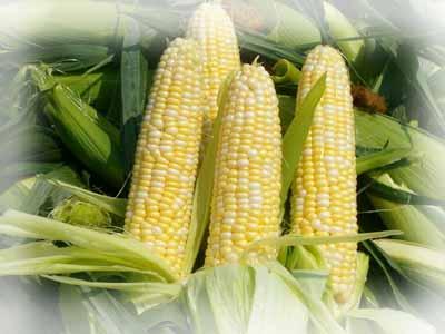 Сахарная кукуруза и способы ухода за ней.