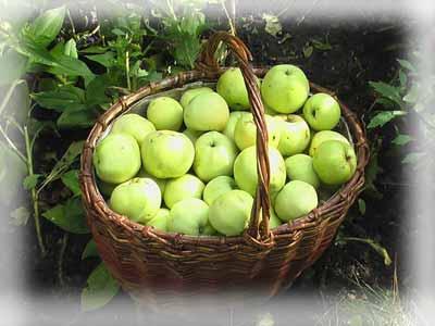 Правильный сбор плодов и ягод в огороде.