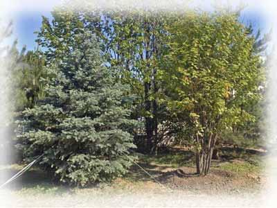Как пересадить взрослое дерево?