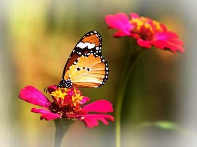 Цветы и бабочки в вашем саду.
