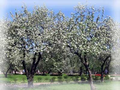Причины слабого роста и отсутствие плодов у яблони.