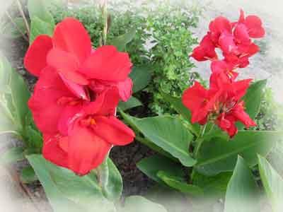 Удивительное растение канна.