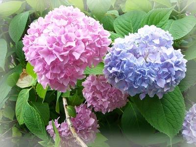 Гортензия: можно ли изменить окраску соцветий?