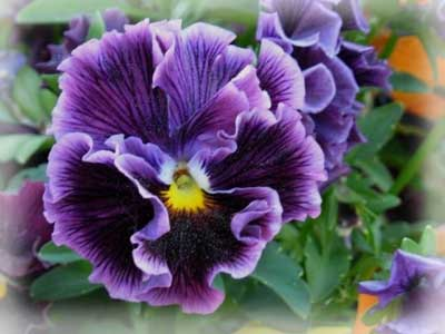 ↓ выбираем цветы для своего сада