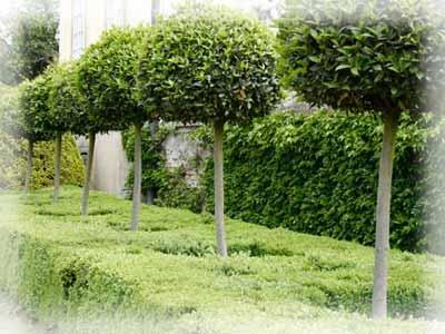 Штамбовые формы растений.