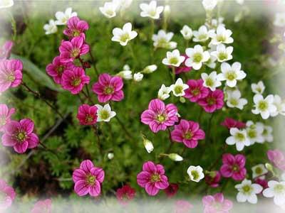 Садоводство цветы декоративные
