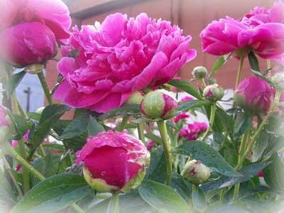 Какой выбрать сорт пиона для сада?